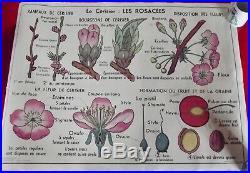 Ancienne Affiche scolaire MDI. Cerisier Fleur Carotte Légumes Fruit Graine vintag
