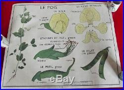 Ancienne Affiche scolaire Rossignol Fleur Pois l'Églantier Rose Légume vintage